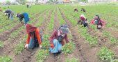 Çukurova'da Çiftçiler Üretime Devam Ediyor
